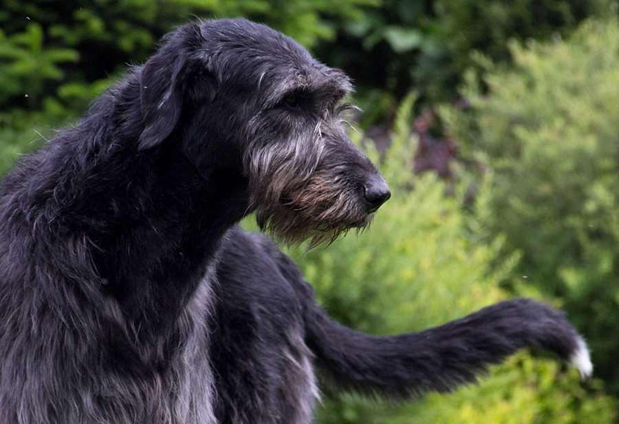 Ирландский волкодав черный