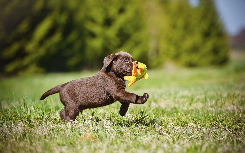 щенок Лабрадор-ретривера