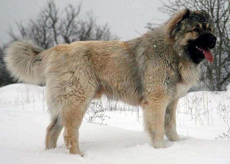 Кавказская овчарка азербайджанская