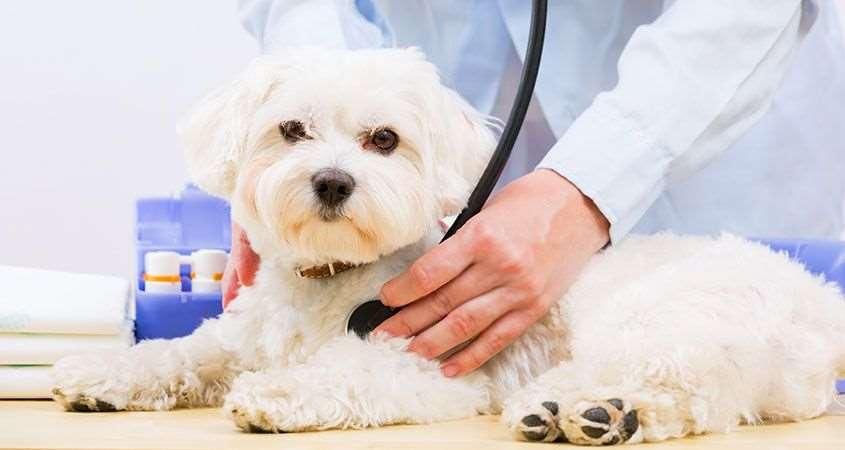мальтезе у ветеринара