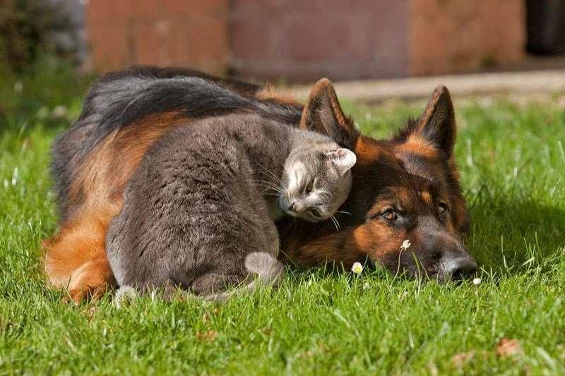 Немецкая овчарка с кошкой