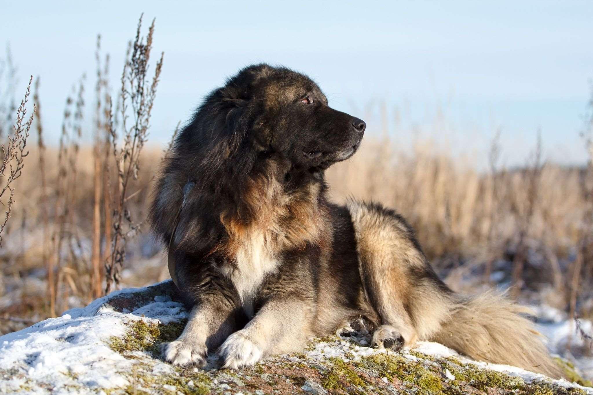 Кавказская овчарка на природе