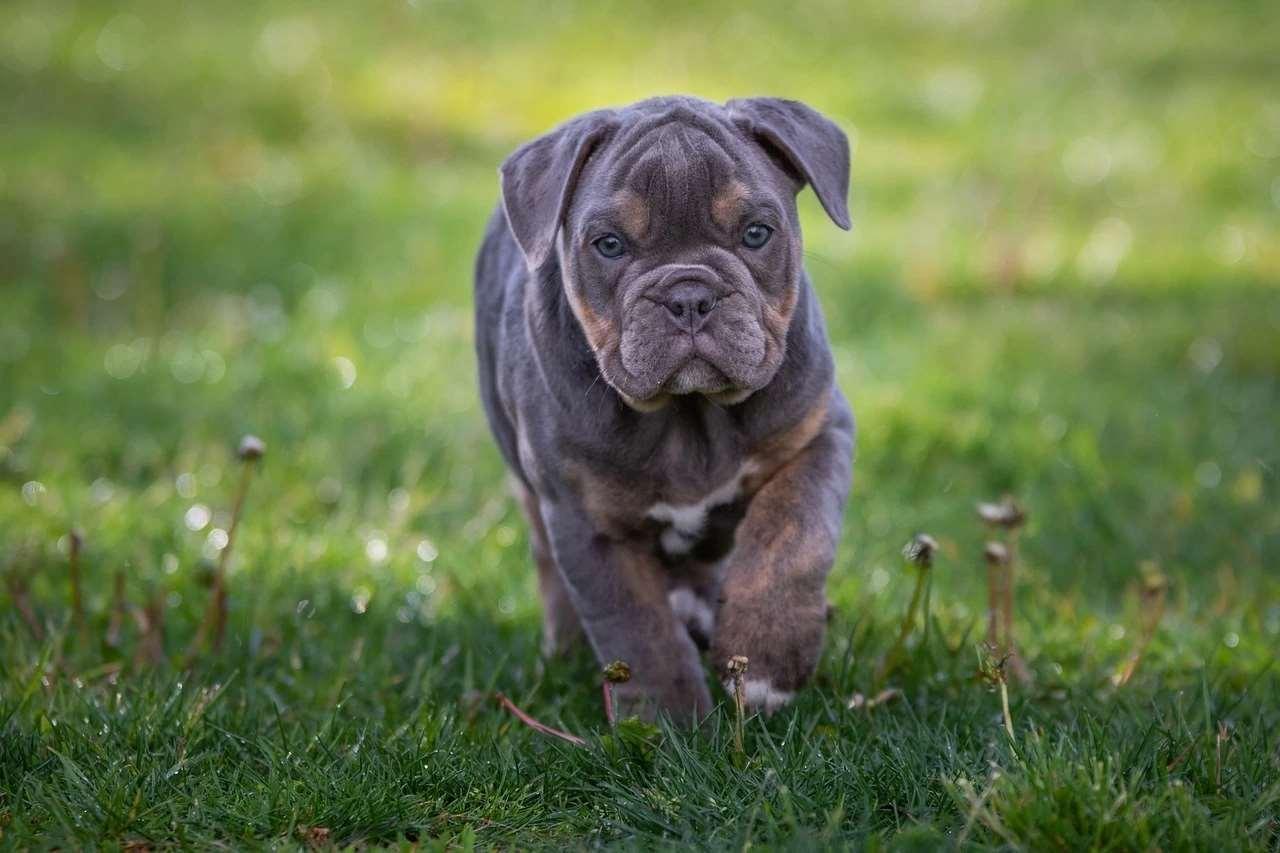 щенок Английского бульдога