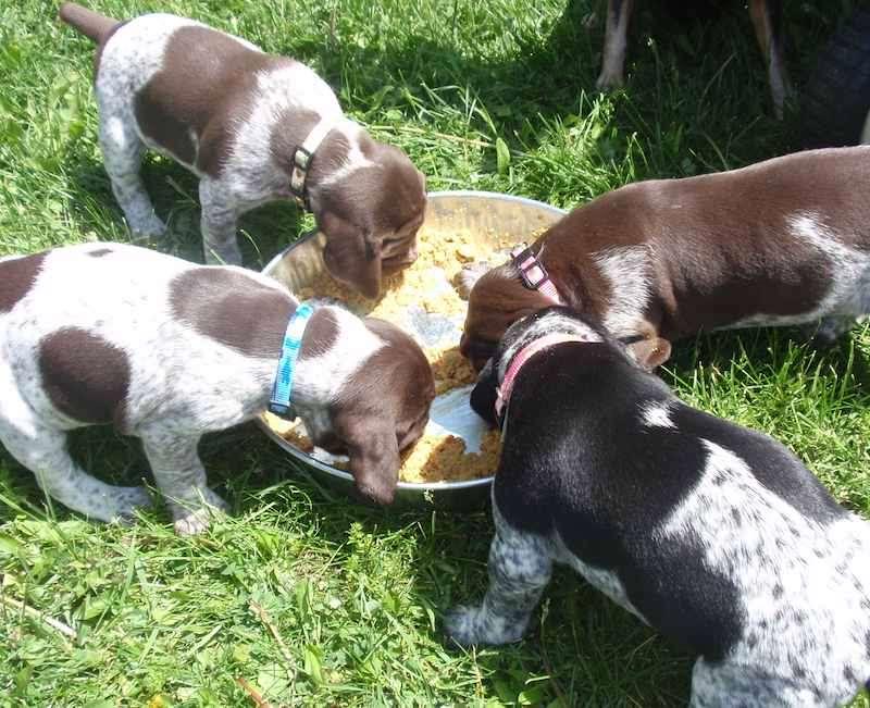 щенки Курцхаара едят