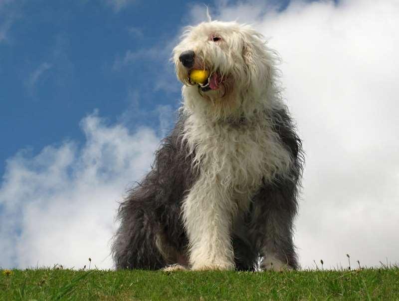 Староанглийская овчарка с мячиком