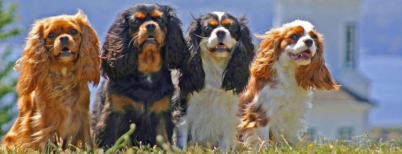 собаки породы Кавалер-кинг-чарльз-спаниель