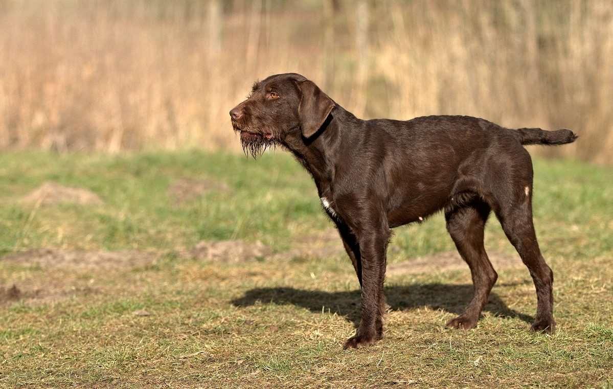 Дратхаар коричнево-белый