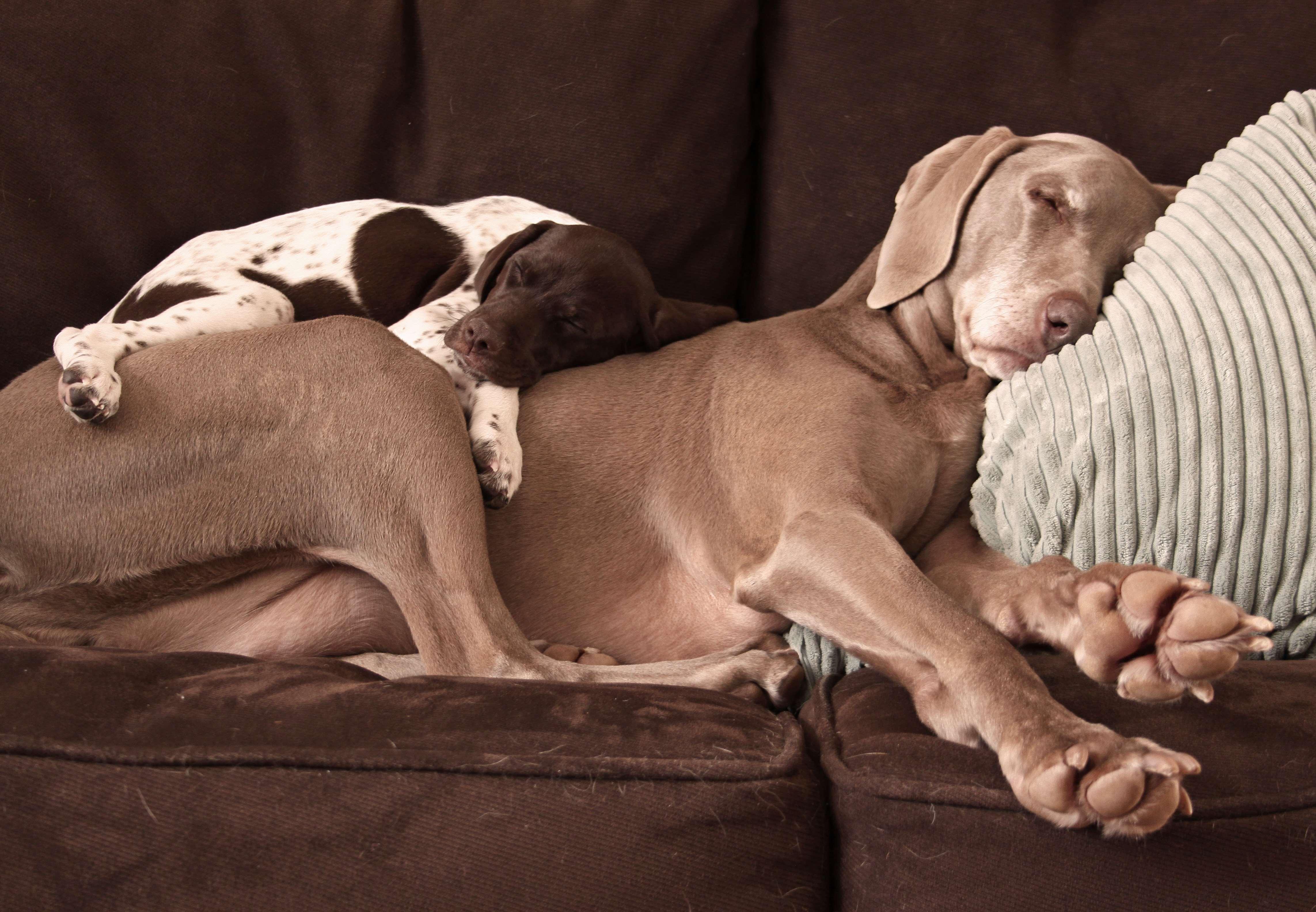 Веймаранер с другими собаками