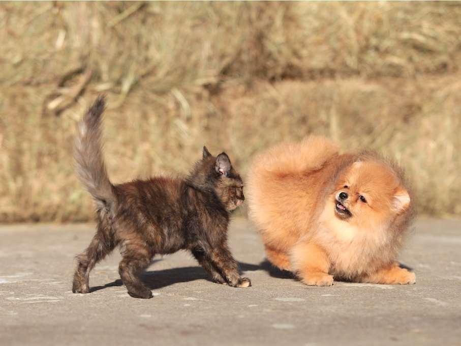 Померанский шпиц с котенком