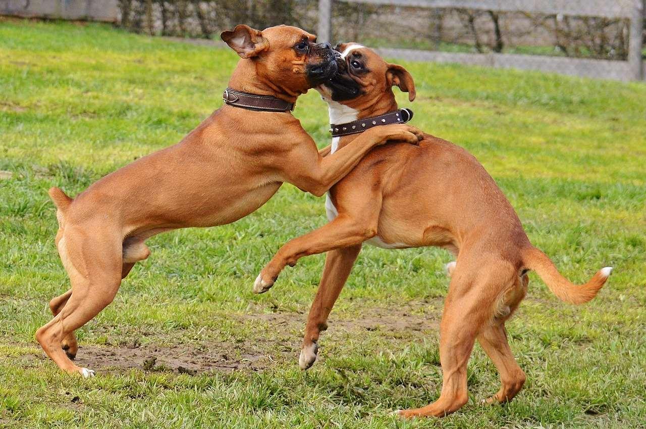 Немецкие боксеры играют