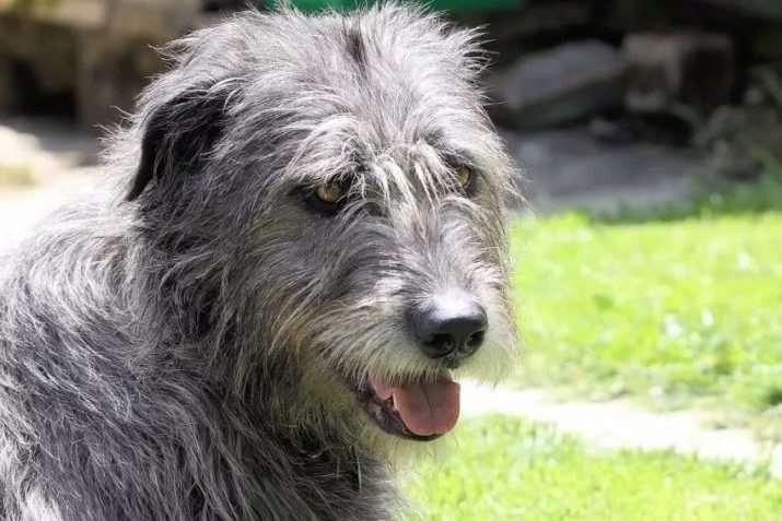 Ирландский волкодав серый