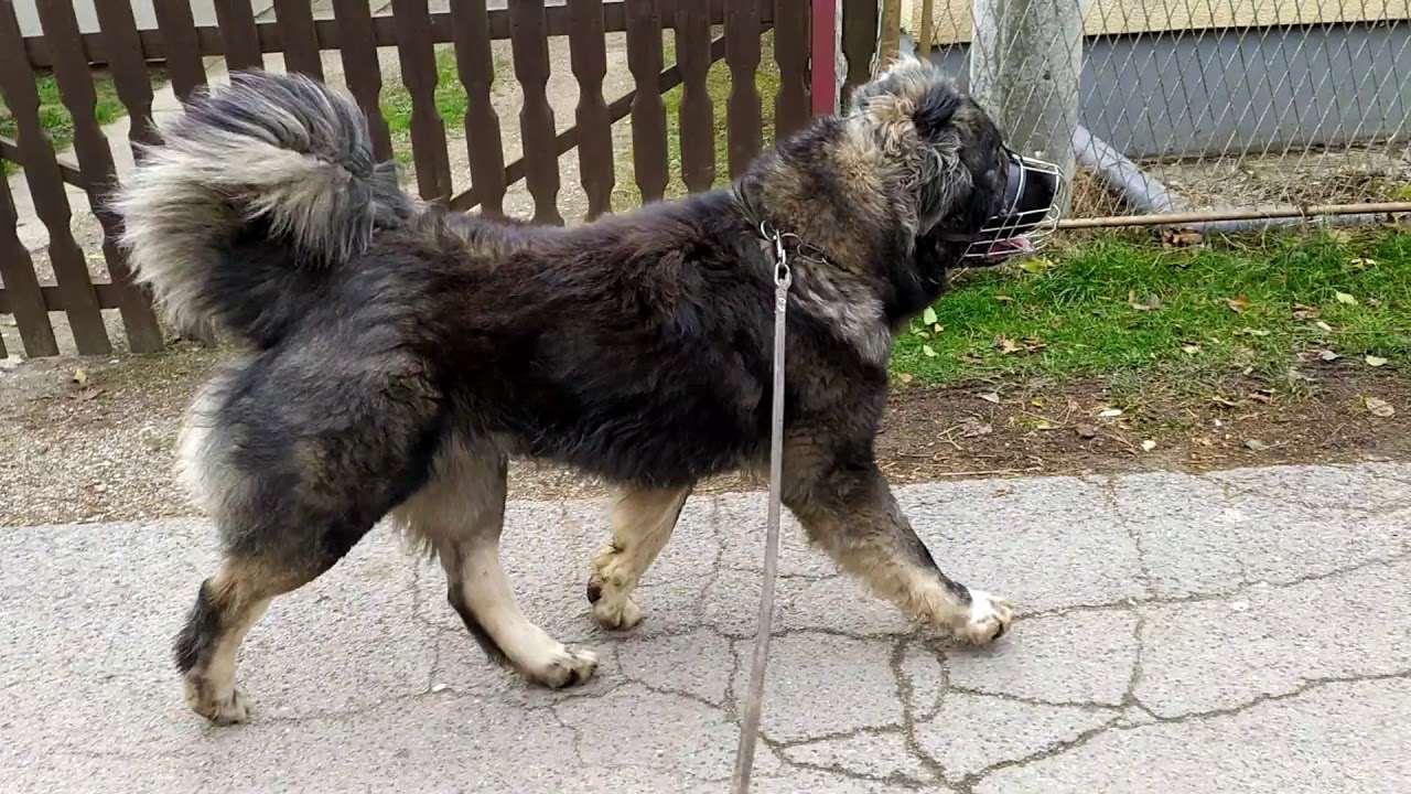 Кавказская овчарка на прогулке