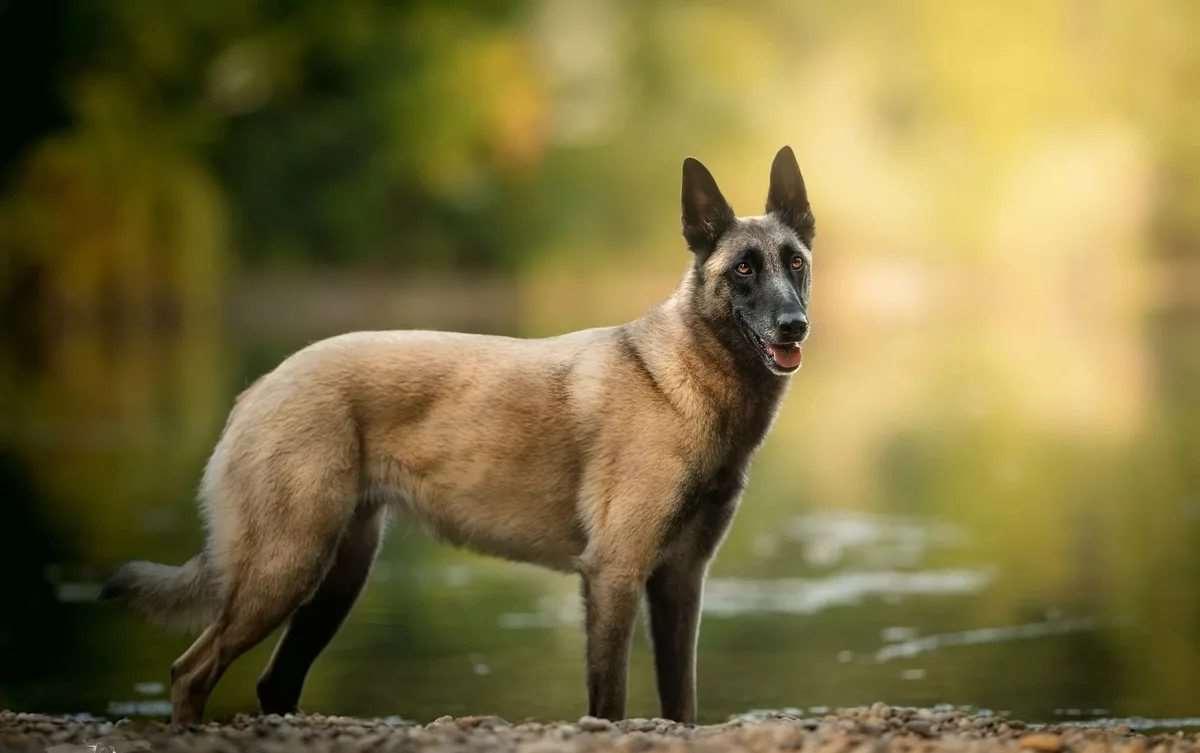 Бельгийская овчарка Малинуа