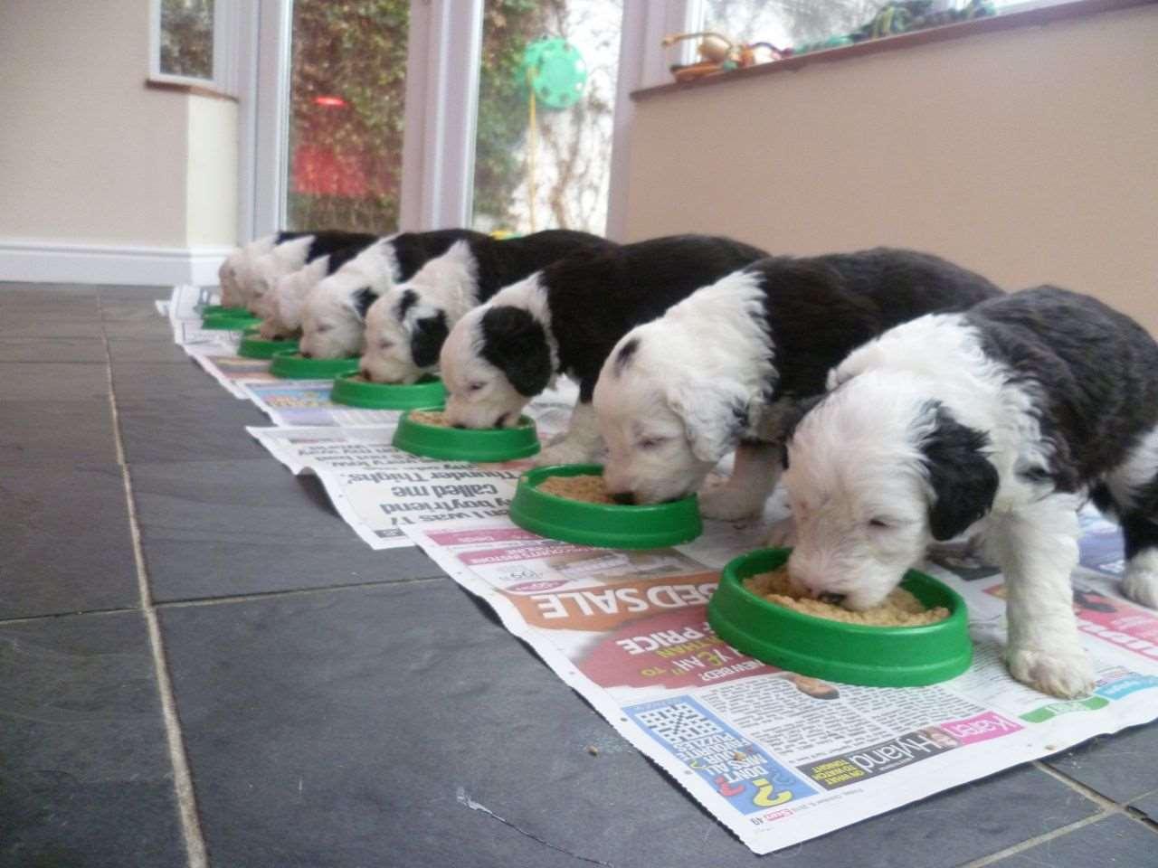 щенки бобтейла едят