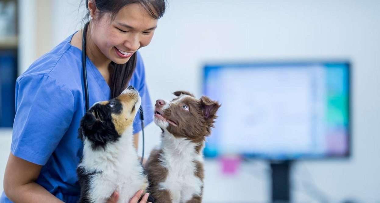 Бордер-колли у ветеринара