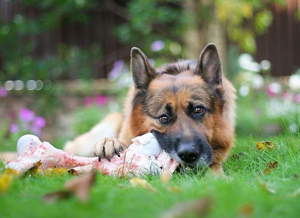 Немецкая овчарка грызет кость