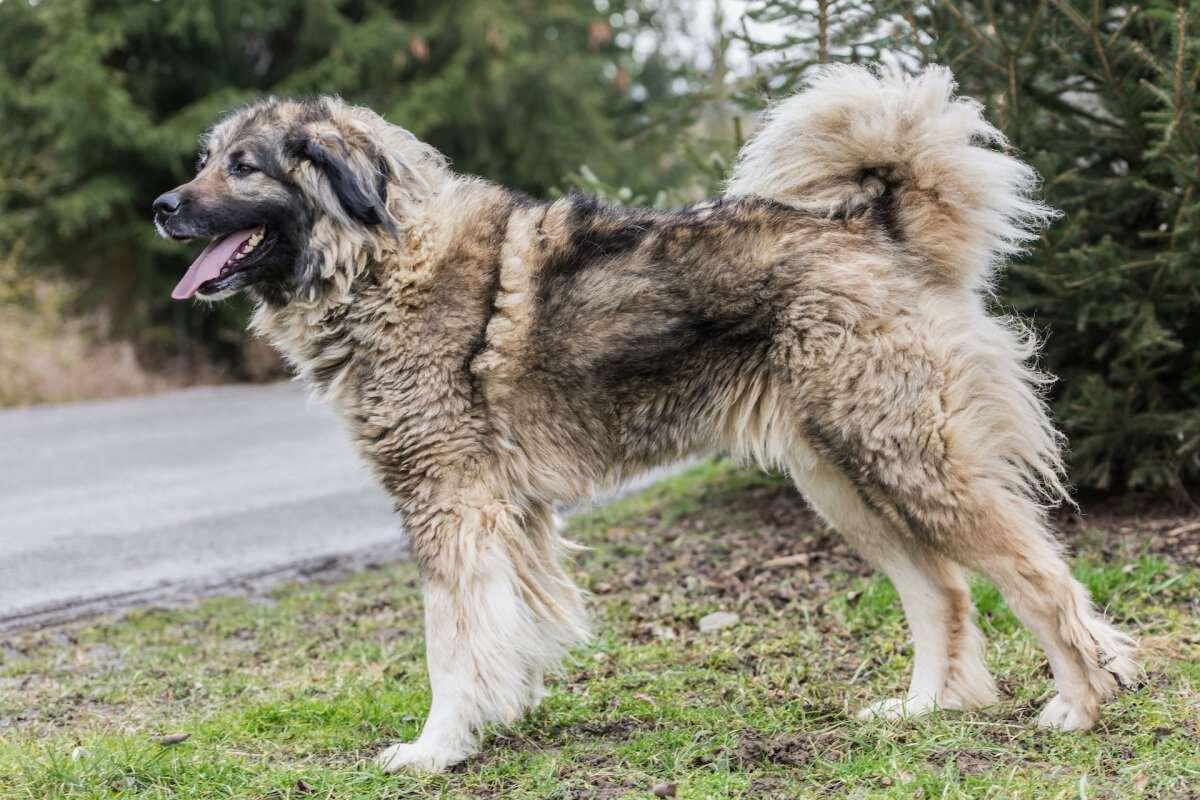 Кавказская овчарка с шерстью средней длинны