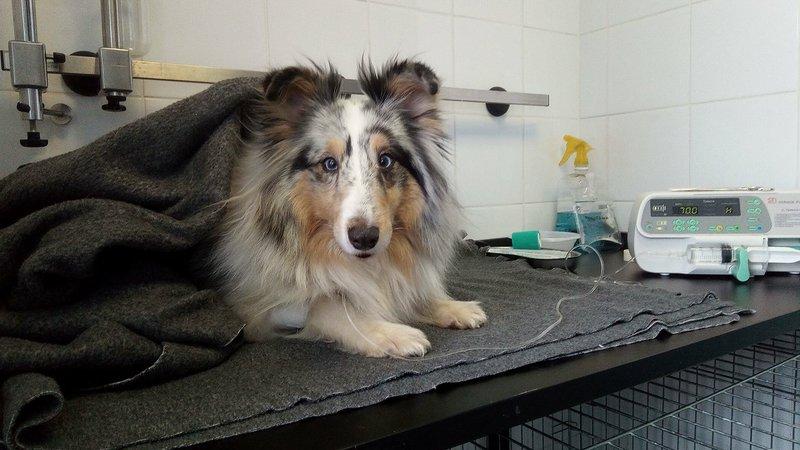 шетландская овчарка у ветеринара