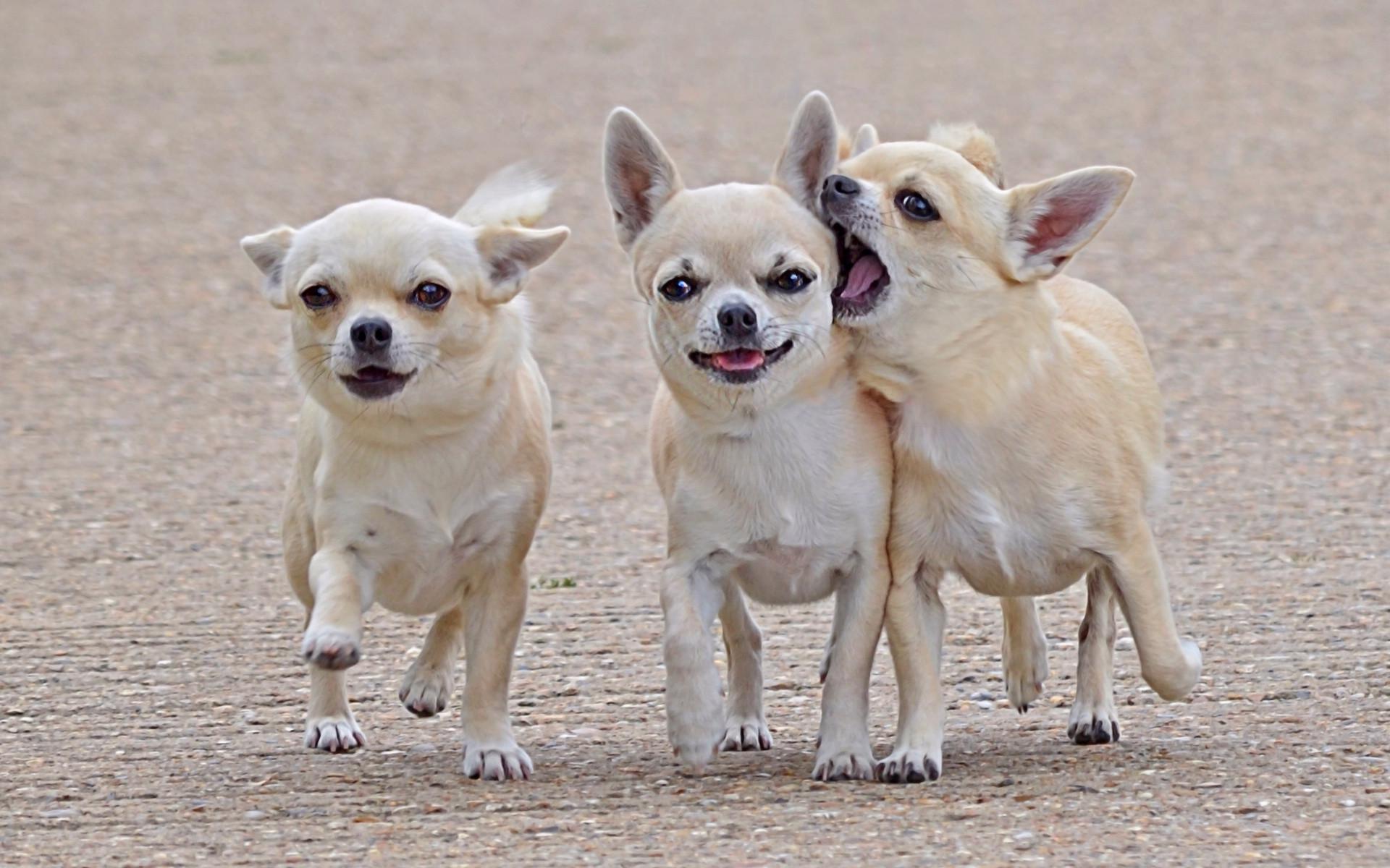 собаки Чихуахуа на прогулке