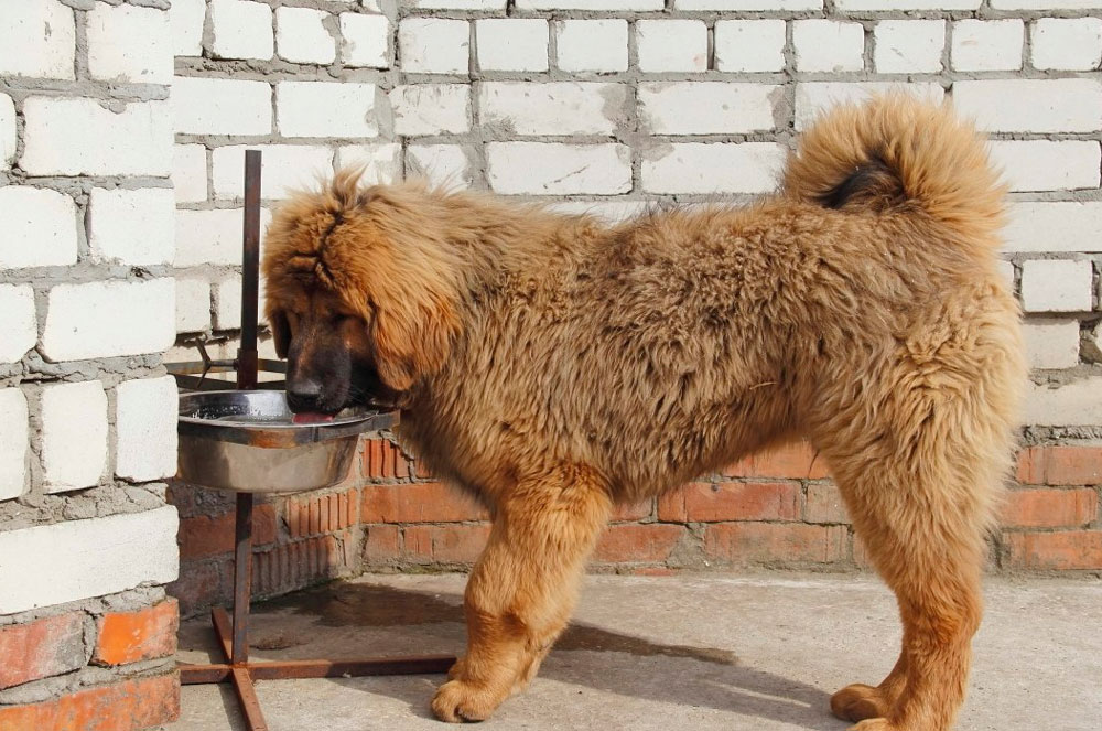 Тибетский мастиф пьет воду