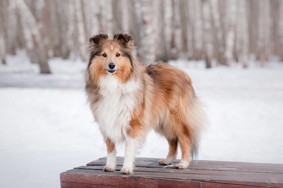 шетландская овчарка зимой