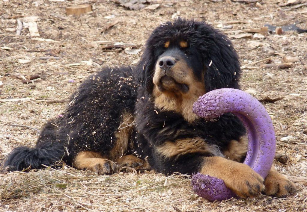 Тибетский мастиф с игрушкой