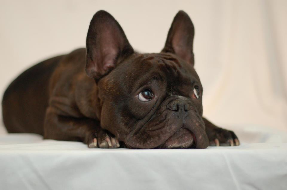 темно-коричневый Французский бульдог