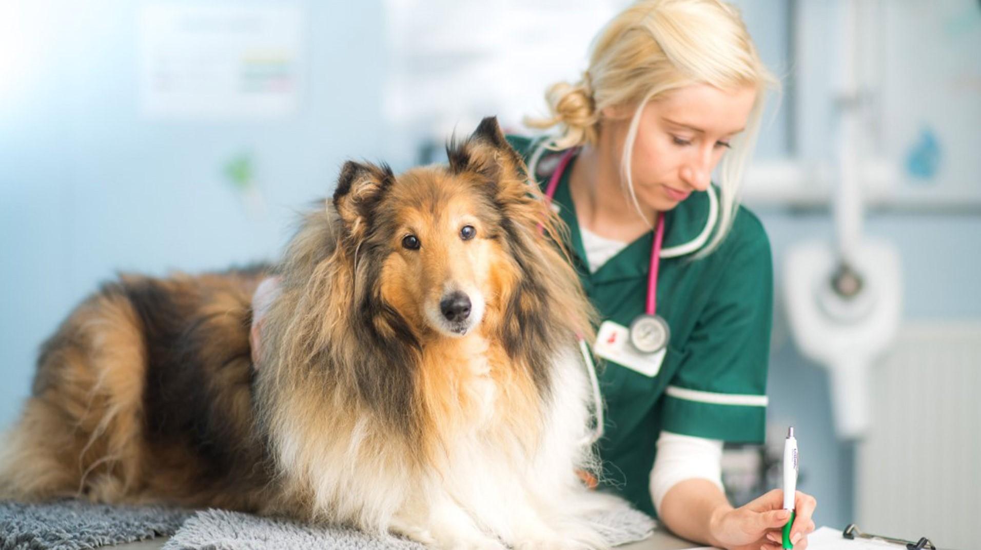 Колли у ветеринара