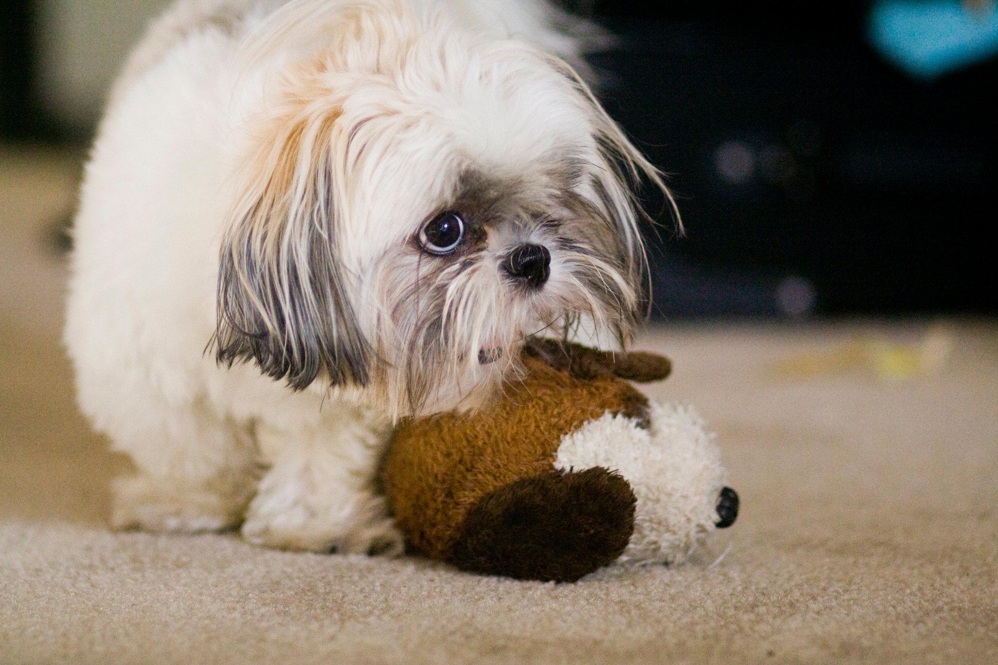 Ши-тцу с игрушкой