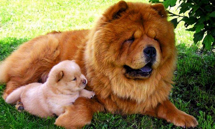 Чау-чау со щенком