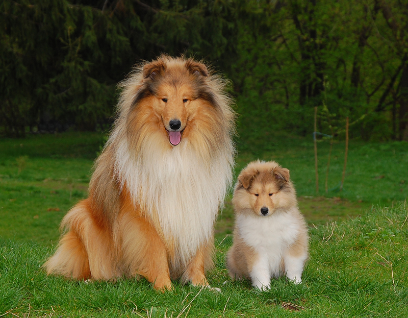 Колли со щенком