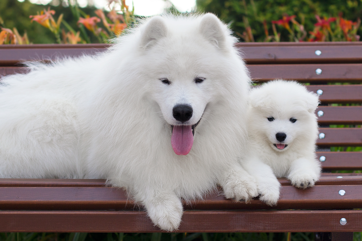 Самоед с щенком
