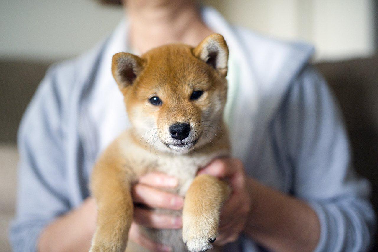 щенок Сиба-ину у ветеринара