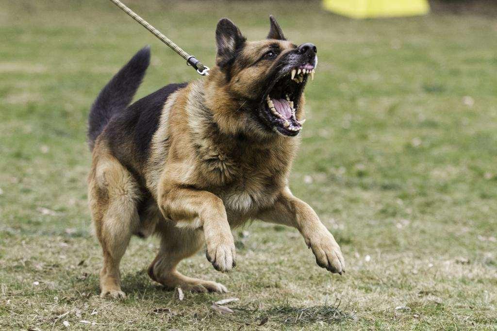 собака на поводке лает