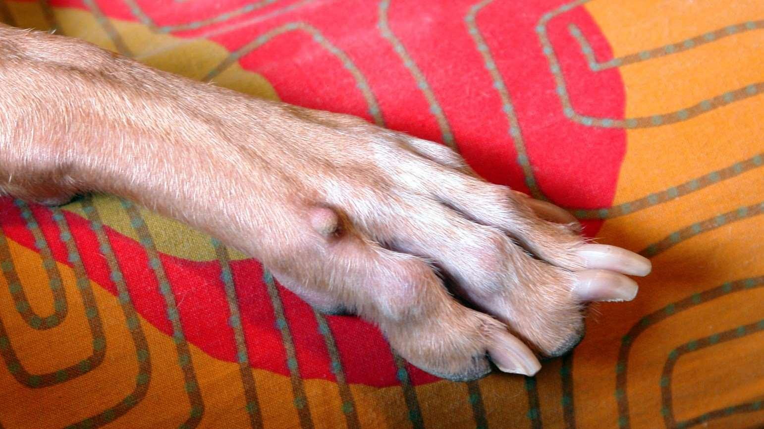 шишка на лапе у собаки