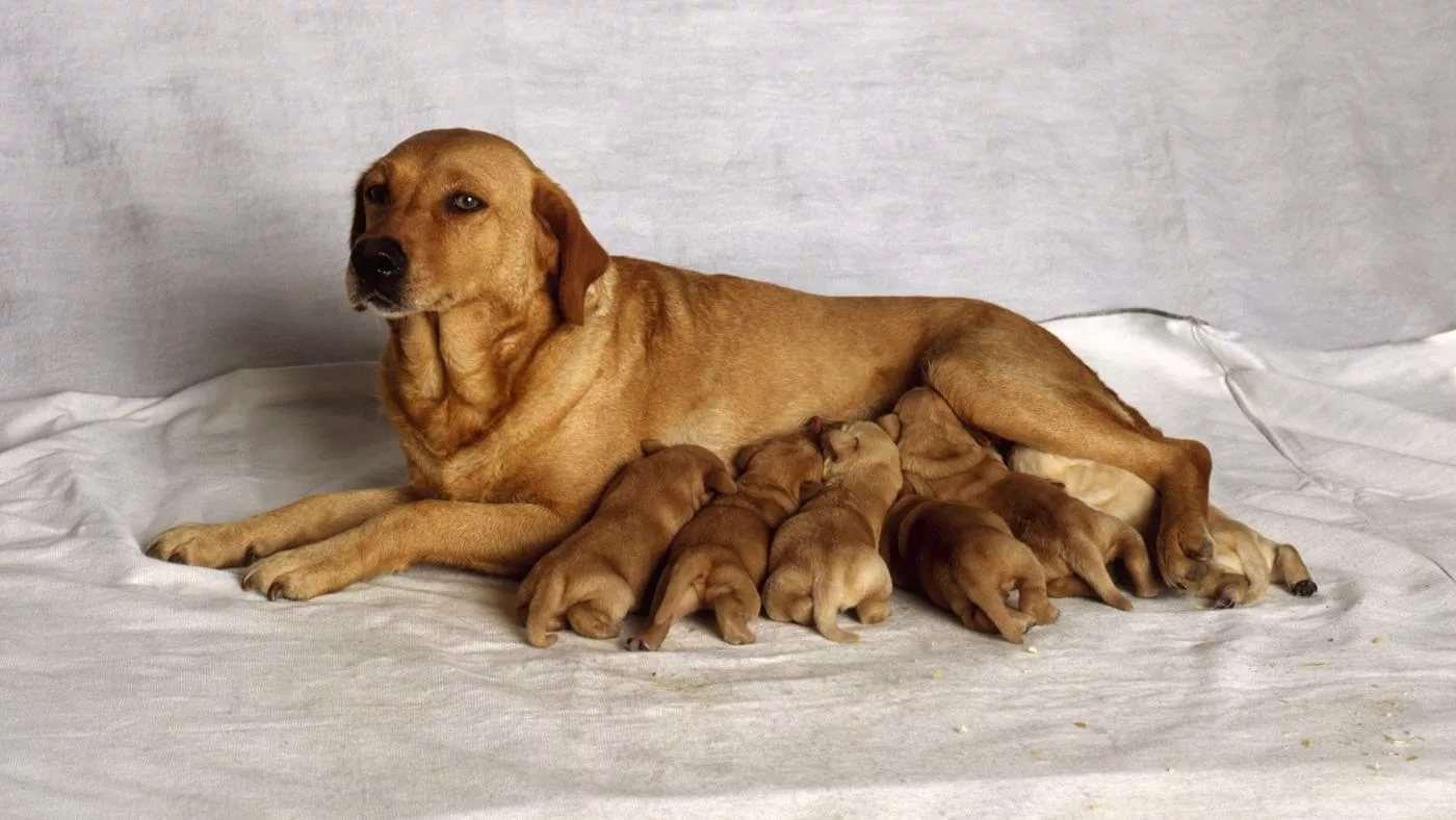собака со щенятами