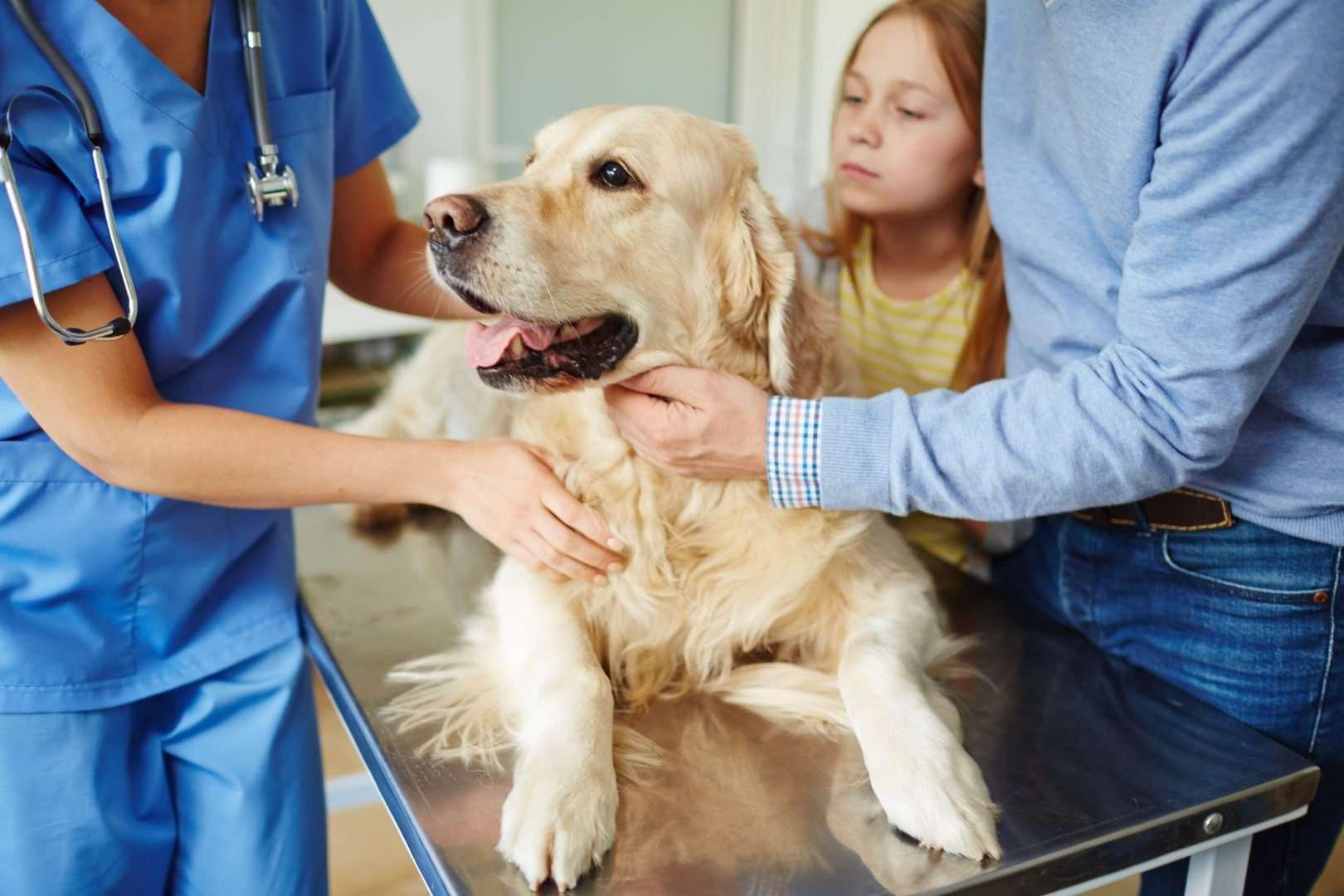 собака перед стерилизацией