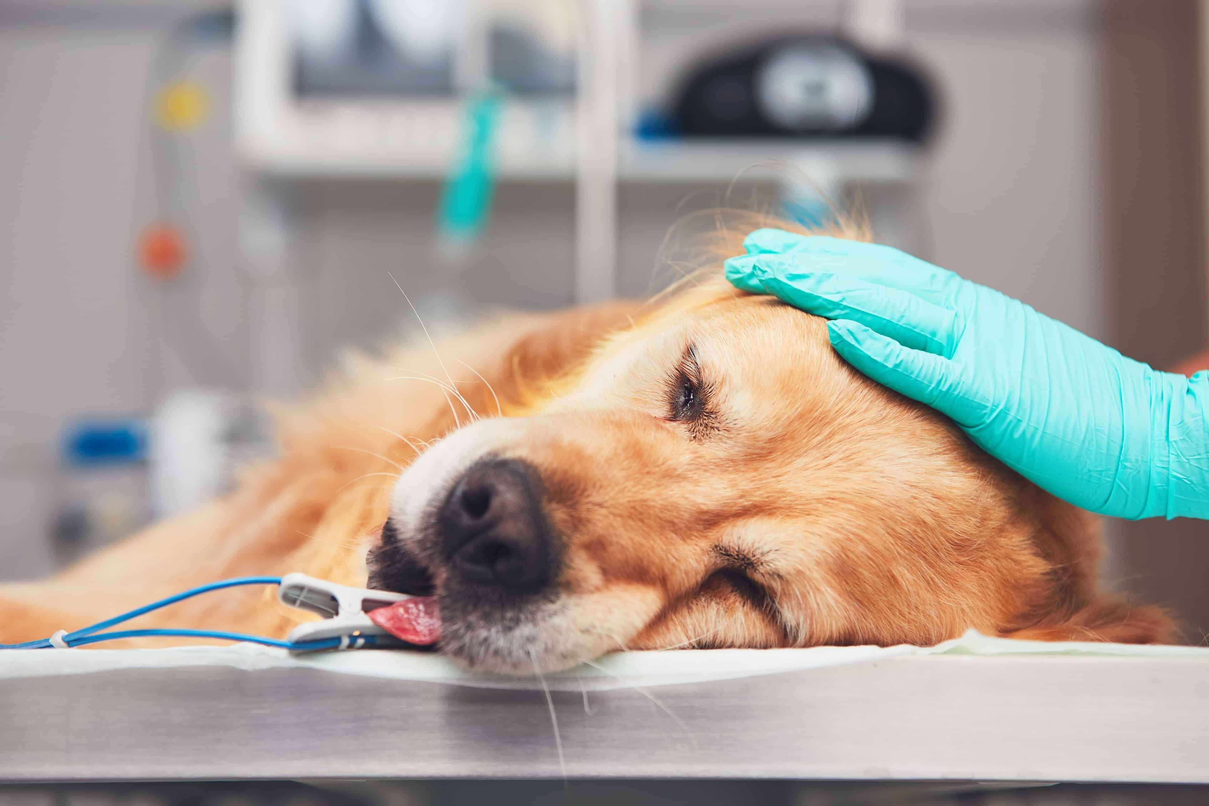 собака под анестезией