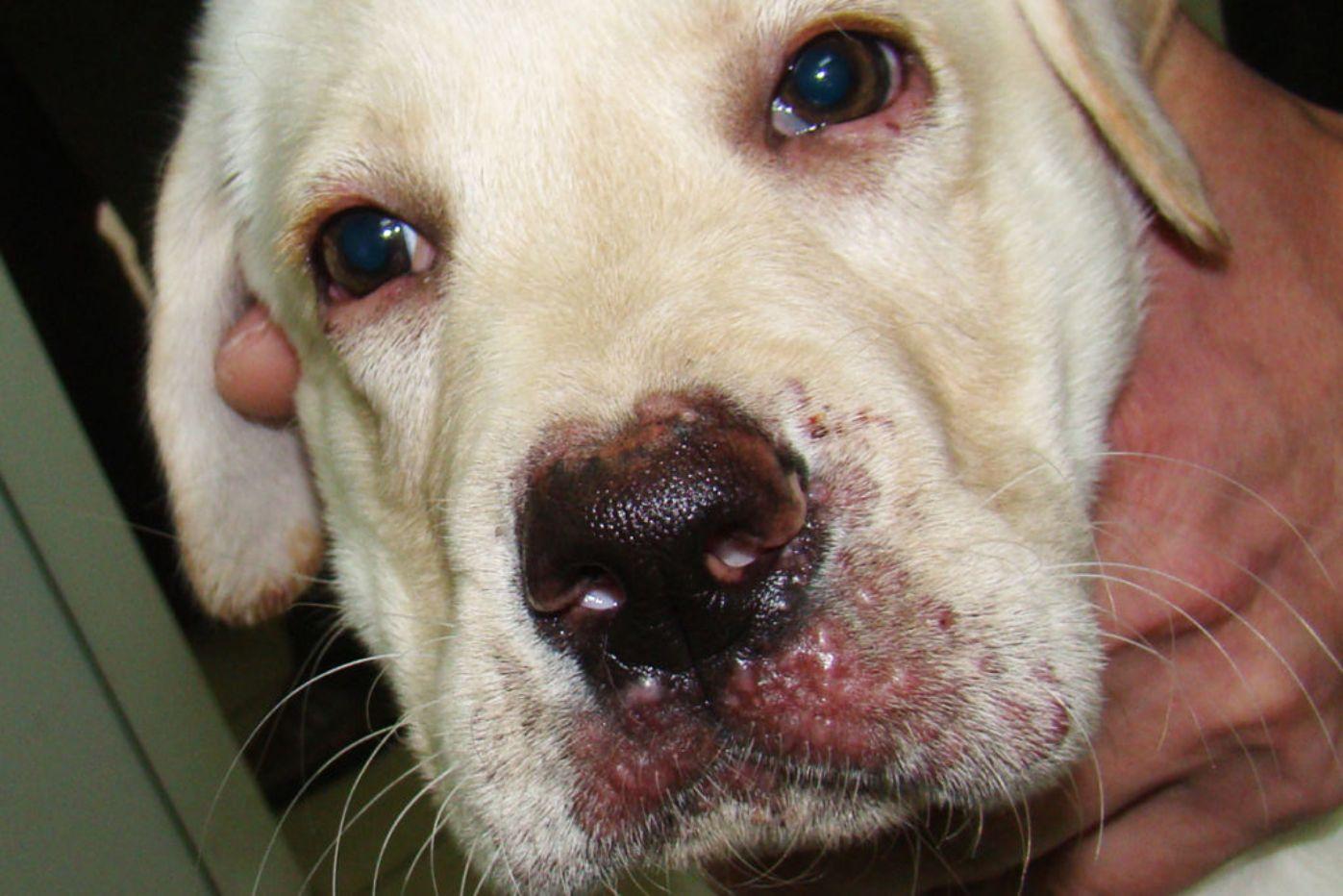 аллергический кашель у собаки