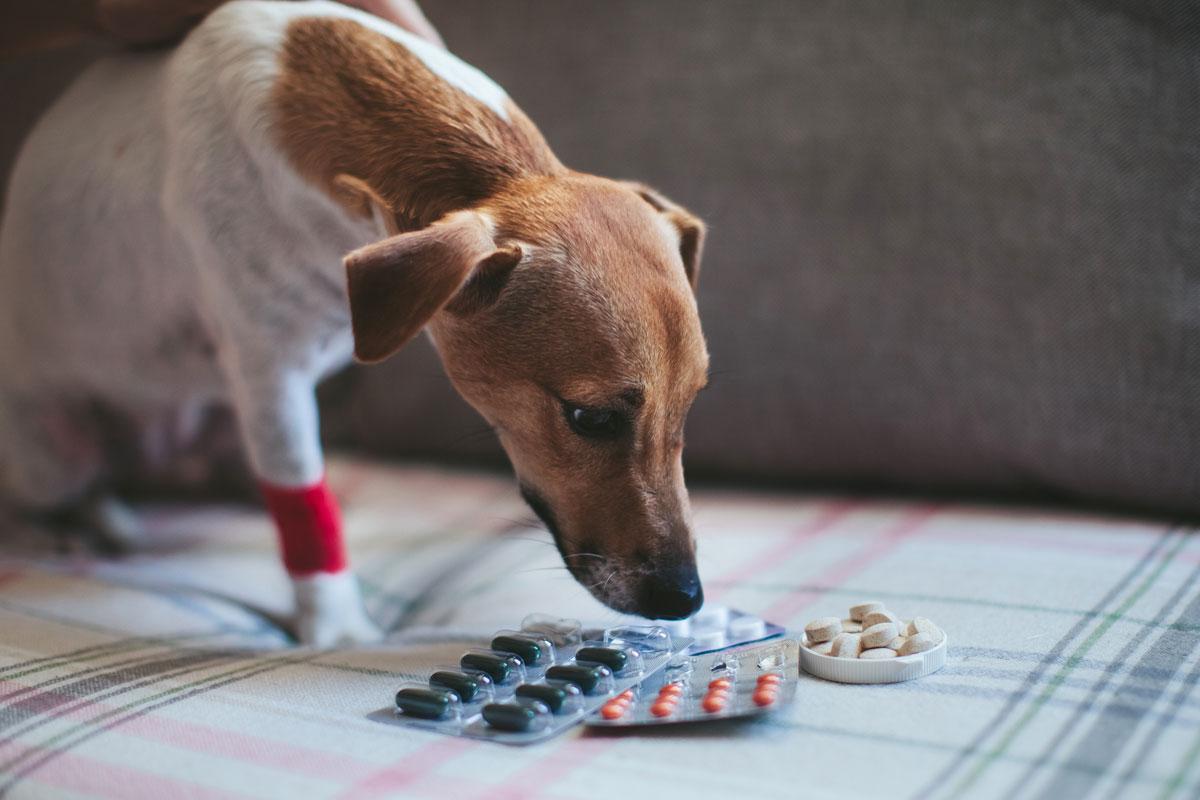 Аллергия собаки на лекарства