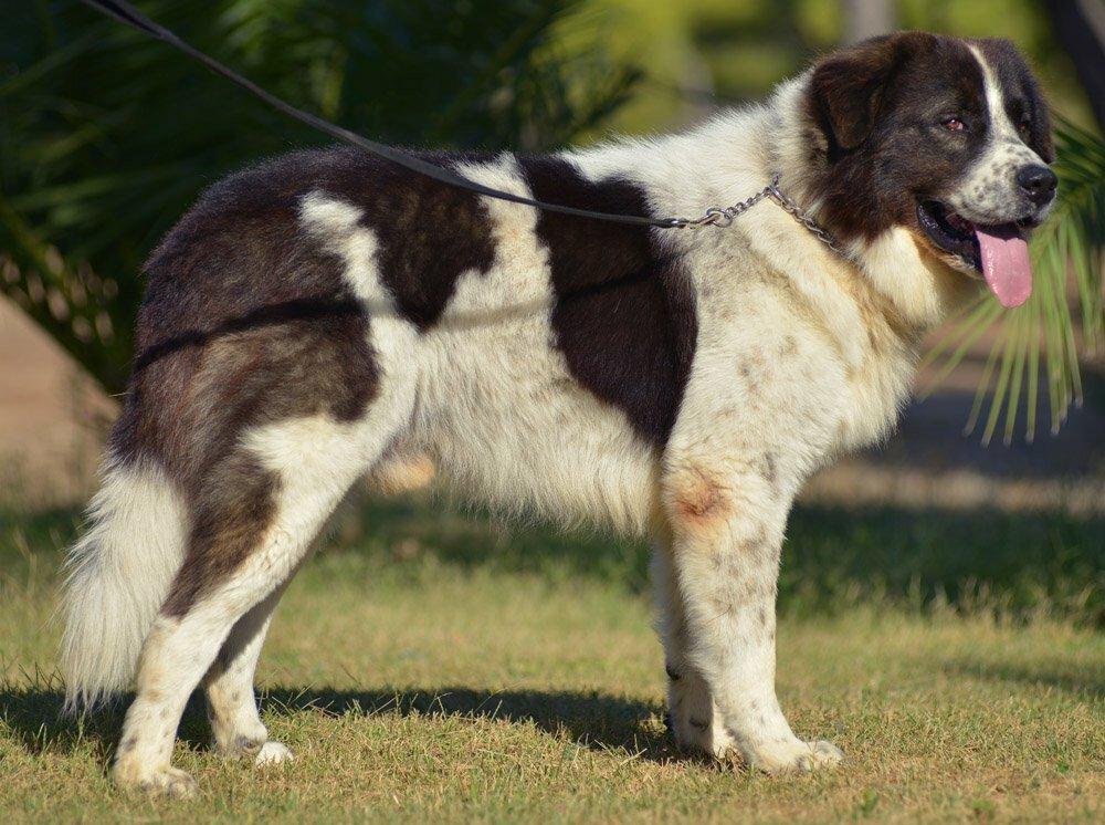 Какая самая большая собака